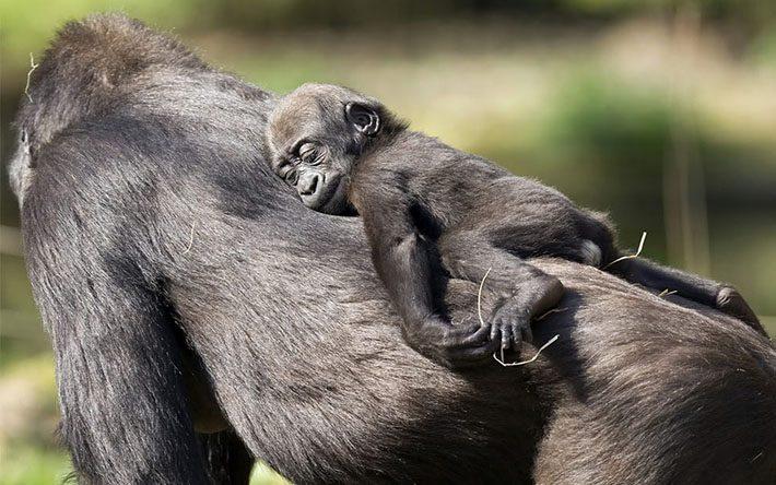怠け者のゴリラ(猿)のイメージ画像